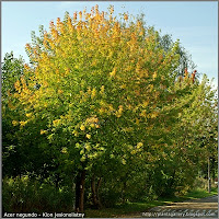 Acer negundo - Klon jesionolistny