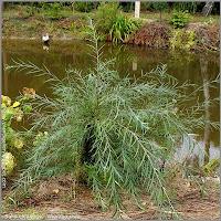 Salix eleagnos - Wierzba siwa