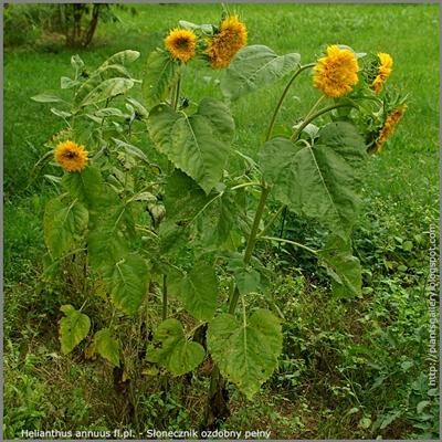 Helianthus annuus fl.pl. - Słonecznik ozdobny pełny