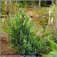 Juniperus chinensis 'Stricta Variegata' - Jałowiec chiński 'Stricta Variegata'