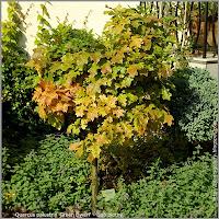 Quercus palustris 'Green Dwarf' - Dąb błotny 'Green Dwarf'
