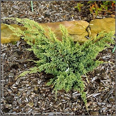 Juniperus squamata 'Dream Joy' - Jałowiec łuskowaty 'Dream Joy'