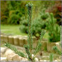 Pinus parviflora 'Brevifolia' - Sosna drobnokwiatowa 'Brevifolia'