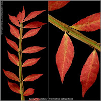 Euonymus alatus - Trzmielina oskrzydlona