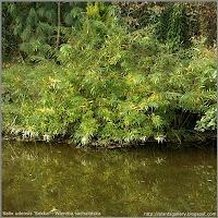 Salix udensis 'Sekka' - Wierzba sachalińska  'Sekka'