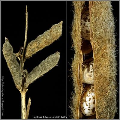 Lupinus luteus - Łubin żółty