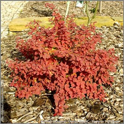 Berberis thunbergii 'Orange Beskid' - Berberys Thunberga 'Orange Beskid'