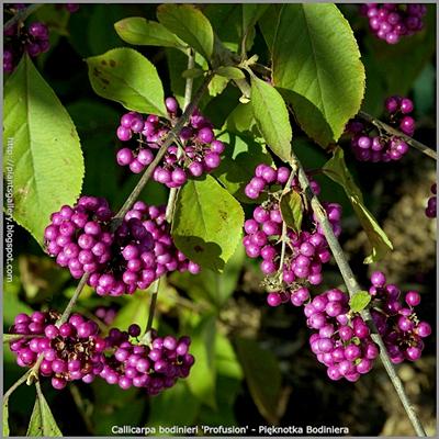 Callicarpa bodinieri 'Profusion' fruit - Pięknotka Bodiniera 'Profusion' owoce