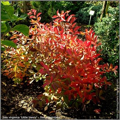 Itea virginica 'Little Henry' autumn  - Itea wirginijska 'Little Henry'  jesienią