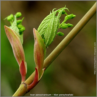 Acer pensylvanicum - Klon pensylwański pąki kwiatowe