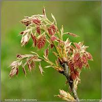 Quercus rubra - Dąb czerwony młode liście