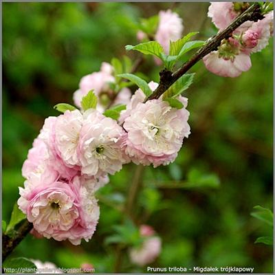 Prunus triloba flower - Migdałek trójklapowy kwiaty