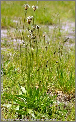 Plantago lanceolata - Babka lancetowata pokrój