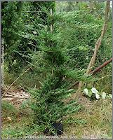 Juniperus horizontalis 'Jade River' - Jałowiec płożący 'Jade River'