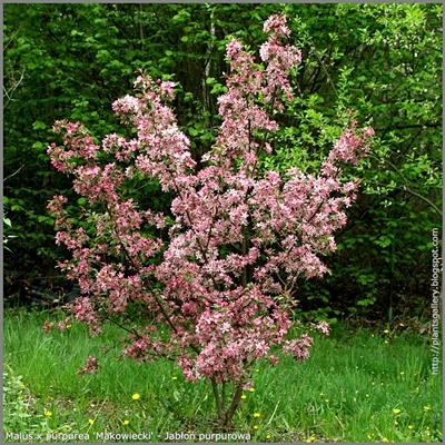 Malus x purpurea 'Makowiecki' - Jabłoń purpurowa odm. 'Makowiecki'