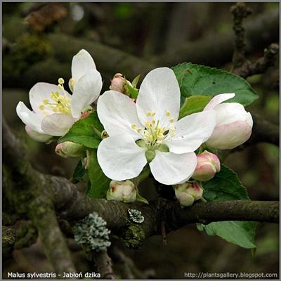 Malus sylvestris  flower - Jabłoń dzika kwiaty