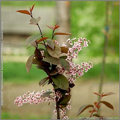 Prunus padus 'Colorata' - Czeremcha pospolita 'Colorata'