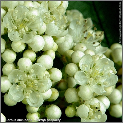 Sorbus aucuparia flower - Jarząb pospolity kwiaty