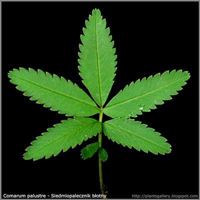 Comarum palustre leaf - Siedmiopalecznik błotny liść