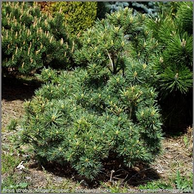 Pinus strobus 'Kruger's Liliput' - Sosna wejmutka 'Kruger's Liliput'
