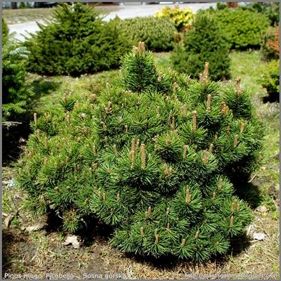 Pinus mugo 'Picobello' - Sosna górska 'Picobello'