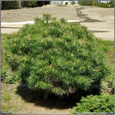 Pinus nigra 'Brepo' - Sosna czarna 'Brepo'