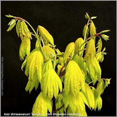 Acer shirasawanum 'Aureum' - Klon Shirasawy złotolistny