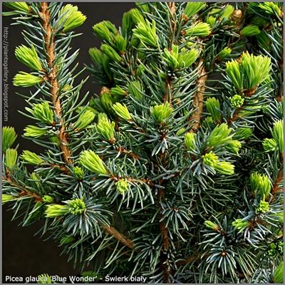 Picea glauca 'Blue Wonder' - Świerk biały 'Blue Wonder'