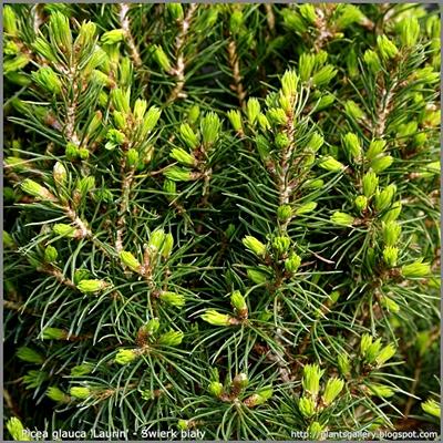 Picea glauca 'Laurin' - Świerk biały 'Laurin'