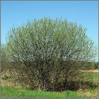 Salix cinerea - Wierzba szara, łoza pokrój wiosną