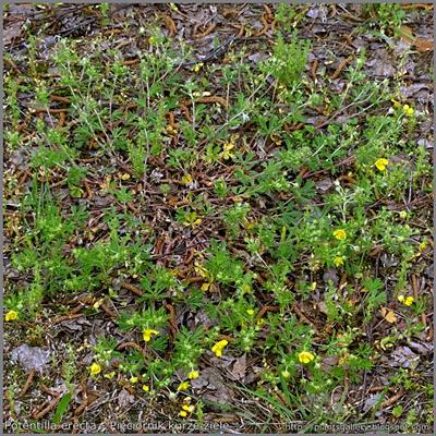 Potentilla erecta - Pięciornik kurze ziele