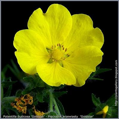 Potentilla fruticosa 'Goldstar' - Pięciornik krzewiasty  'Goldstar'