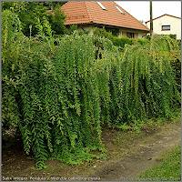Salix integra 'Pendula' - Wierzba całolistna zwisła