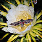 Hawk moth on an Epiphyllum flower