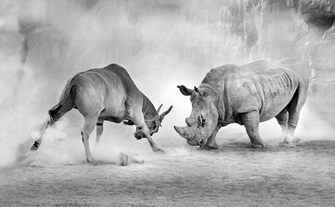 luta entre animais desbaratinando (5)