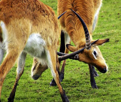 luta entre animais desbaratinando (9)