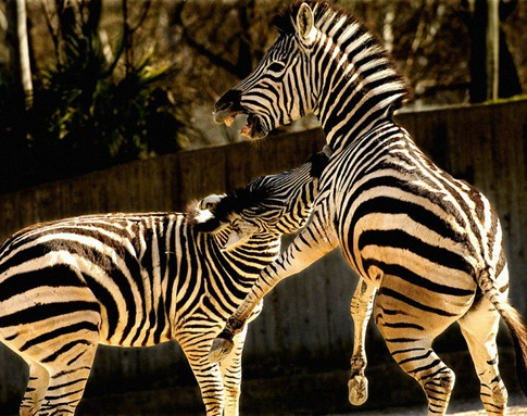 luta entre animais desbaratinando (11)