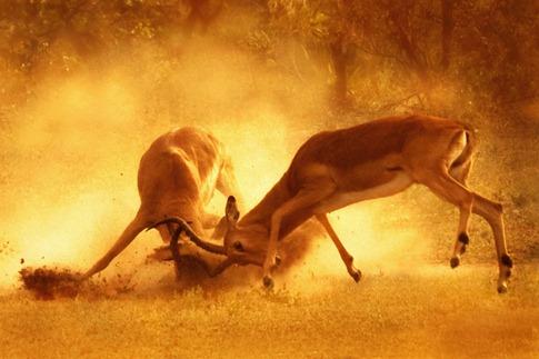 luta entre animais desbaratinando (18)