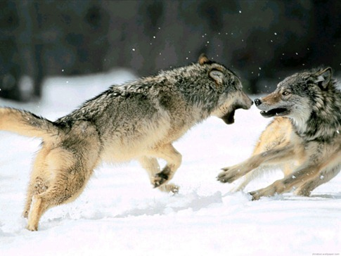 luta entre animais desbaratinando (28)
