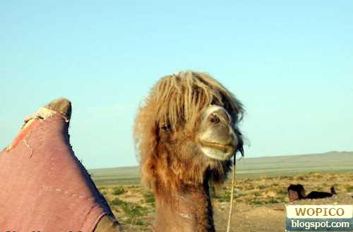 Funky Camel
