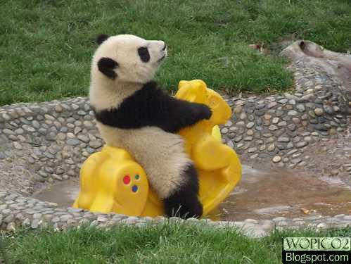 Palying Panda