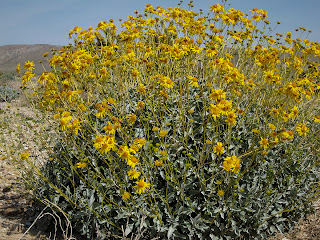 Brittle Bush near the Anza Borrego Desert State Park