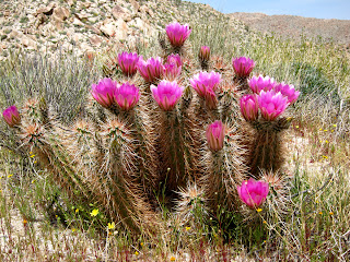 Hedgehog Cactus near Indian Gorge in Anza Borrego