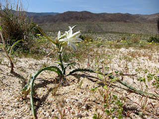Desrt Lily on Egg Mountain in Anza Borrego