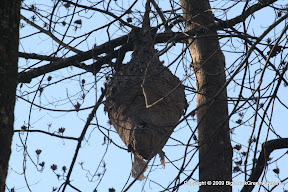 A hornets nest on the left side of the trail (heading North) about 15 feet in the air. It looked around 2 feet tall.