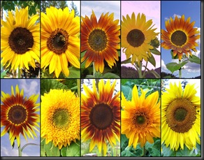 10 10 10 Sunflowers2