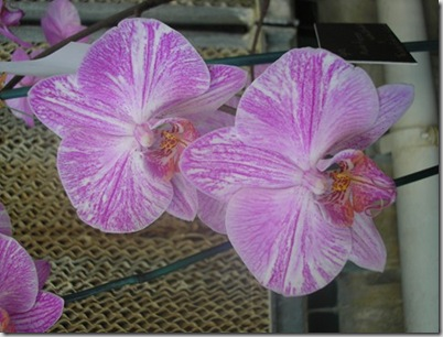 2008 orchid show 005