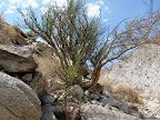 Elephant Tree - Torote Canyon - Anza Borrego Desert State Park