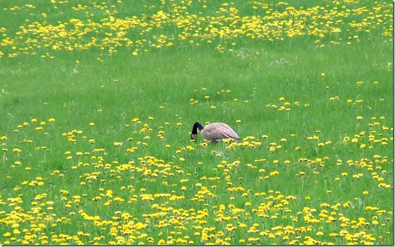 Goose eats