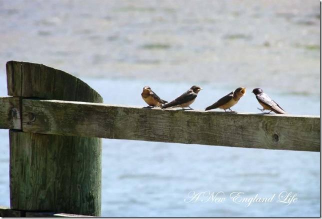 swallows b